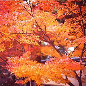 天龍寺参道付近の紅葉(6×6)の写真