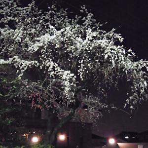 伏見医師会館の夜桜の写真