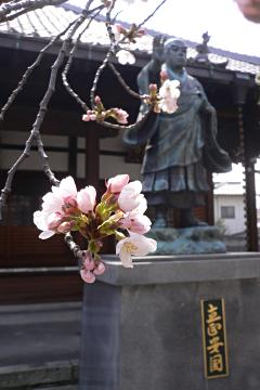 墨染寺の染井吉野の写真