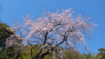 個人宅の枝垂れ桜の写真