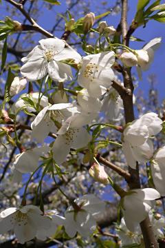 近所の団地に咲く桜の写真