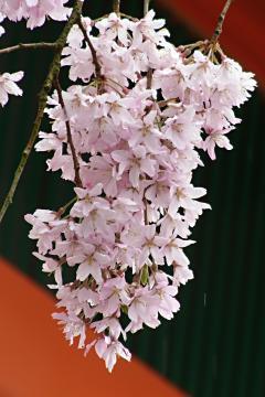 伏見稲荷大社の枝垂れ桜の写真