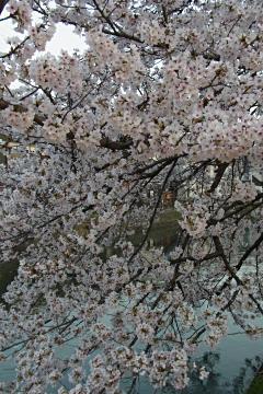 藤森駅横の染井吉野の写真