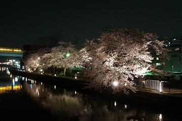 ライトアップされた藤森駅横の染井吉野の写真(1)