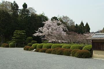 随心院境内の染井吉野の写真