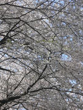桜のトンネルの写真