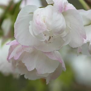 植藤造園の白妙の写真