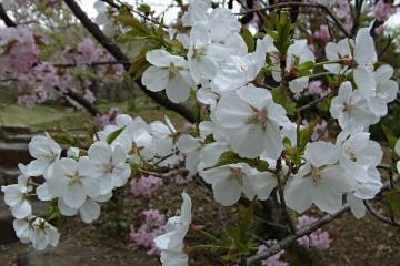 植藤造園の白雪の写真