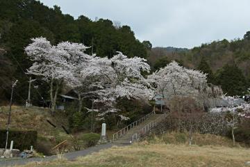徳勝寺の枝垂れ桜の写真(1)