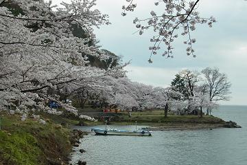 海津大崎の染井吉野の写真(1)