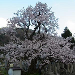 清水の桜(しょうずのさくら)の写真(1)