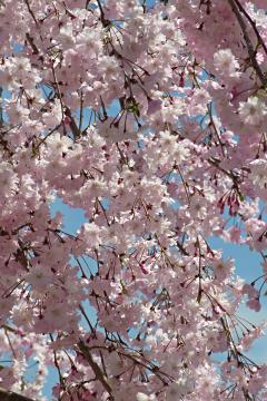 ある公園の枝垂れ桜の写真(1)