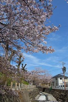 相模川の染井吉野の写真(1)