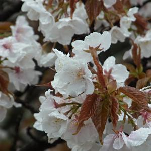 仁和寺の御室桜の写真