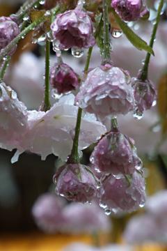藤森神社の八重桜の写真(1)