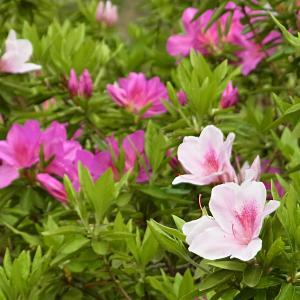 つつじが咲き始めましたの写真(1)