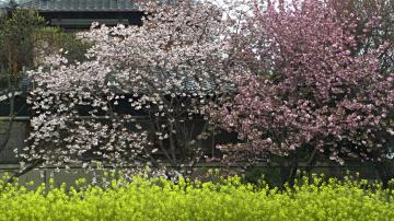 紅白の八重桜の写真