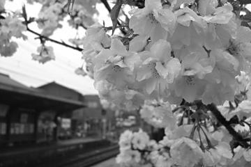 御室仁和寺駅の桜の写真