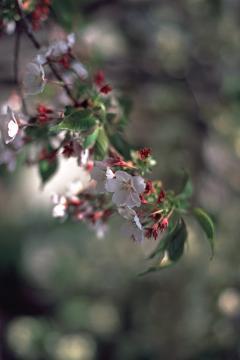 墨染寺の墨染桜の写真