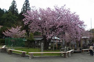 黒田百年桜の写真(1)