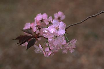 植藤造園の胡蝶(銀塩)の写真(1)