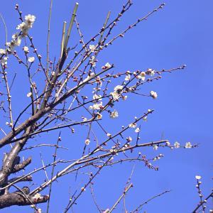 梅の花がほころび始めましたの写真