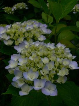 紫陽花が咲き始めましたの写真
