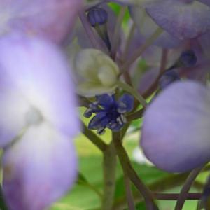 紫陽花の真花の写真