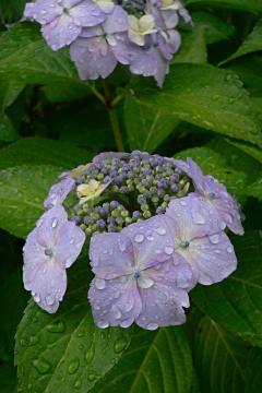 雨の紫陽花の写真