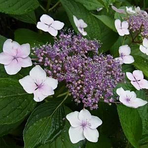 近所の紫陽花の写真