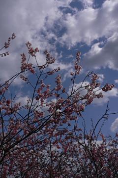 ハツミヨザクラ/初御代櫻の写真(1)