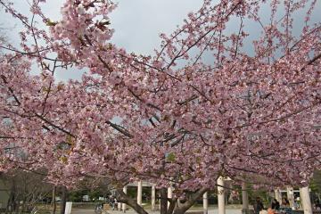 光徳公園の桜の写真(1)