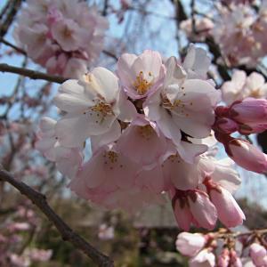 瑞光寺の枝垂桜の写真