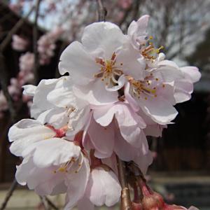 県神社の木の花ざくらの写真(1)