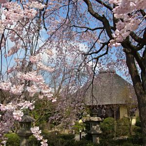 続・瑞光寺の枝垂桜の写真