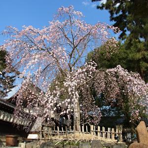 続・県神社の木の花ざくらの写真(1)