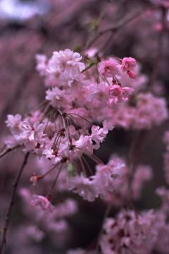 植藤造園の枝垂桜(銀塩)の写真