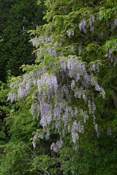 藤が咲いていましたの写真