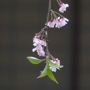 浄教寺の枝垂れ桜の写真