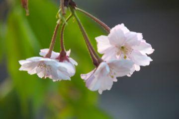 残照の枝垂桜の写真