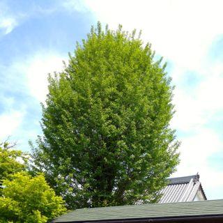 桃源禅寺の新緑の写真