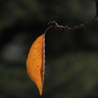 秋色の櫻の写真