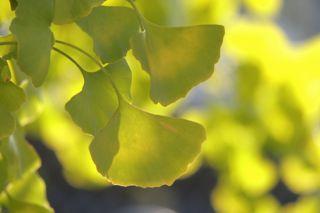 秋色の銀杏の写真