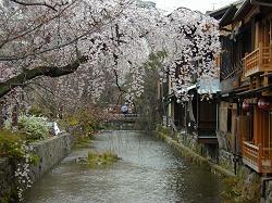 祇園白川の枝垂桜