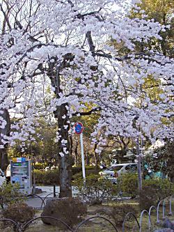 小さな枝垂れ桜