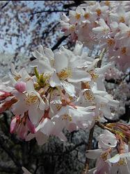 糸桜(2)