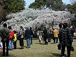 糸桜(3)