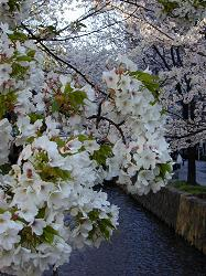 高瀬川の桜(2)