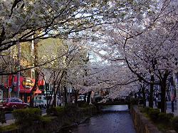 高瀬川の桜(3)