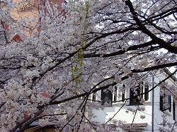 高瀬川の桜(1)